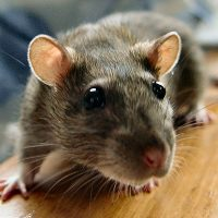 Flick Pest Control Services _ Rodent Pest Control