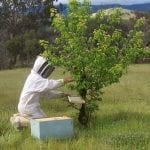 Beekeeper Collecting Swarm