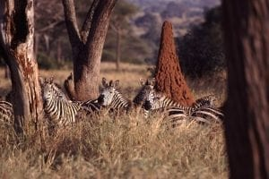 Termite mound In the wild with Zebras