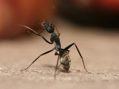 Carpenter Ant Cleaning Antennae