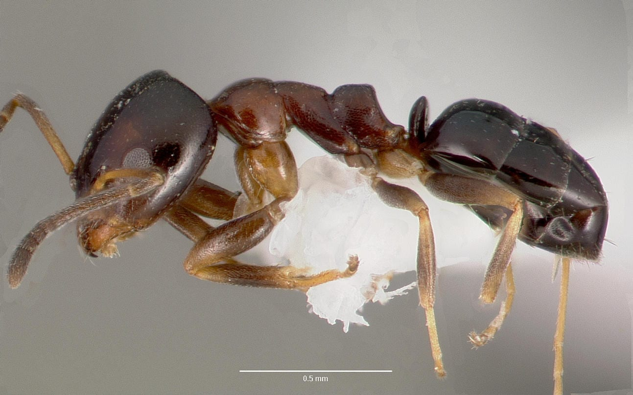 Profile View Of Ant Ochetellus Glaber