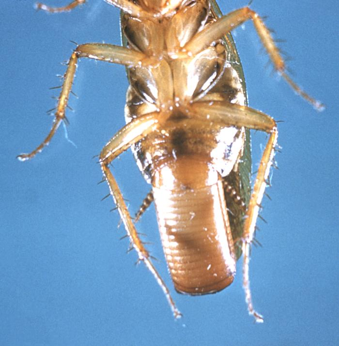 Female German Cockroach With Ootheca