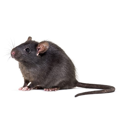 Flick Pest Control_Black Rat, Rattus Rattus, In Front Of White Background