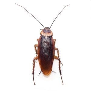 German Cockroach Dorsal View