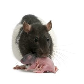 Flick Pest Control_Norway Rat With 5 Day Old Pup