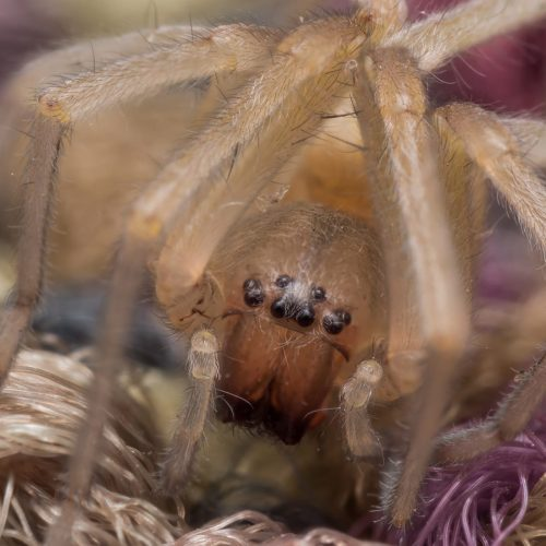 Extreme close up of yellow sac spider on bright threaded carpet